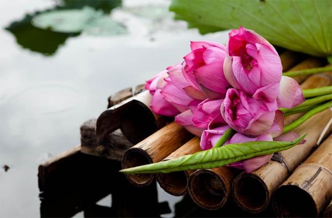 Lotus Flowers at Tay Ho West Lake in Hanoi